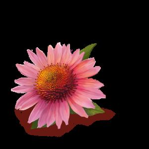 Echinacea-imuno